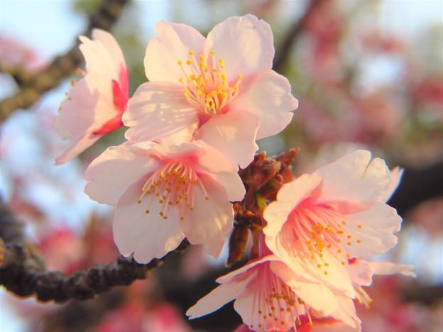 夕陽を受ける寒緋桜