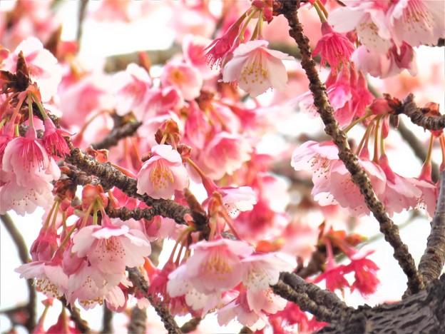 寒緋桜 満開