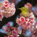 桜メジロン