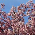 Photos: 桜満開