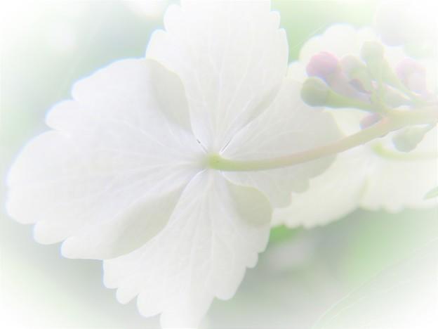 透過紫陽花