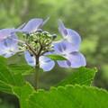 Photos: 森に咲く紫陽花