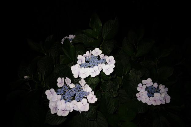 白い額紫陽花