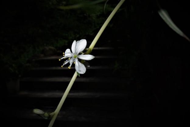 Photos: オリヅルラン