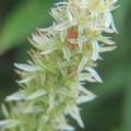 湿原に咲くノギラン