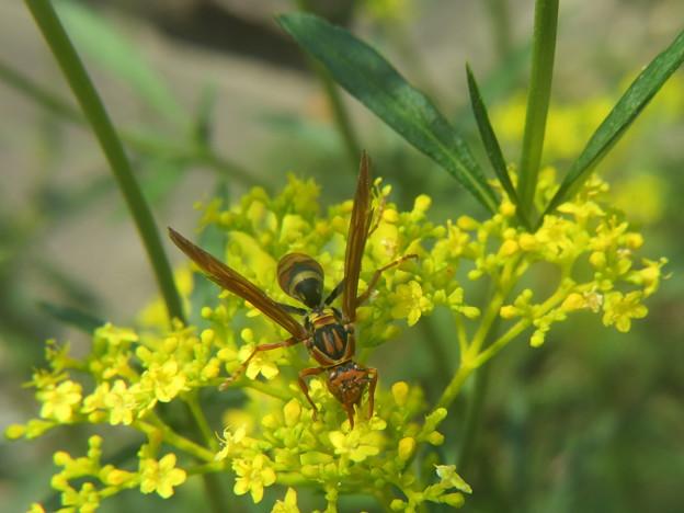 オミナエシに蜂