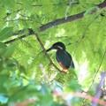 Photos: 大池のカワセミ