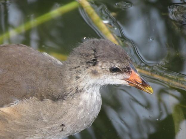 Photos: バンの幼鳥