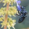 Photos: 幸せを呼ぶ青い蜂