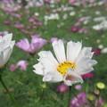 Photos: 鶴見の秋桜