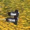 Photos: 秋を泳ぐキンクロ