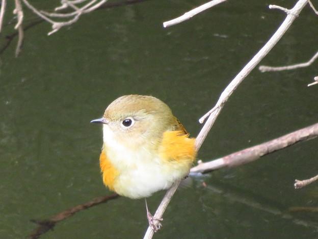 Photos: 池のルリ子