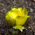 福寿草の芽がでました