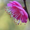 Photos: 雄蕊の紅い梅