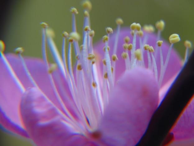 黄色い蕊の梅