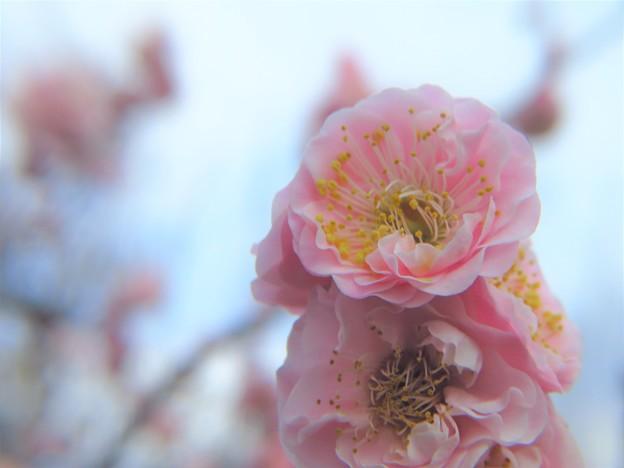 Photos: 「楊貴妃」