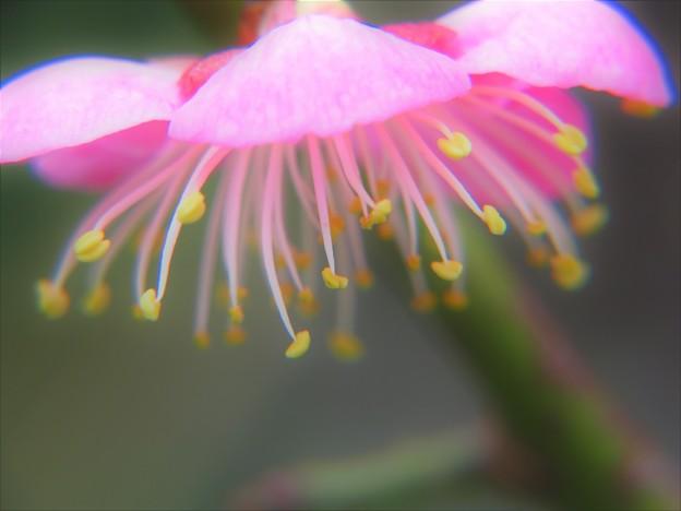 神社に咲く梅
