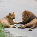 Photos: ライオンカップル