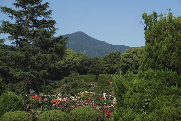 比叡山借景のバラ園