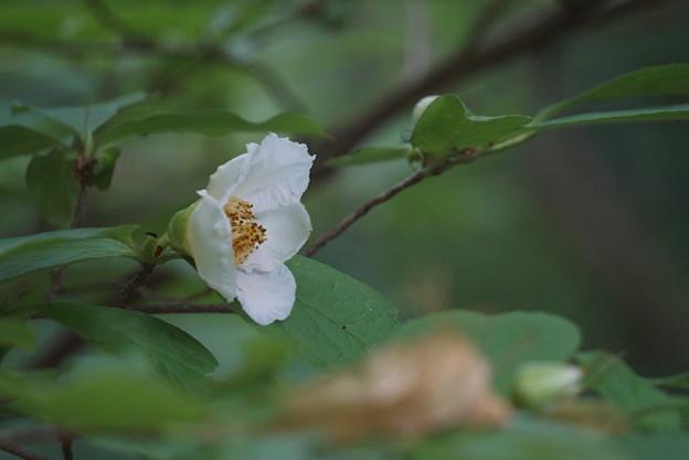 写真: 紗羅の花 夏椿