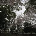 宮前公園の桜3