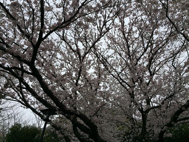 宮前公園の桜5