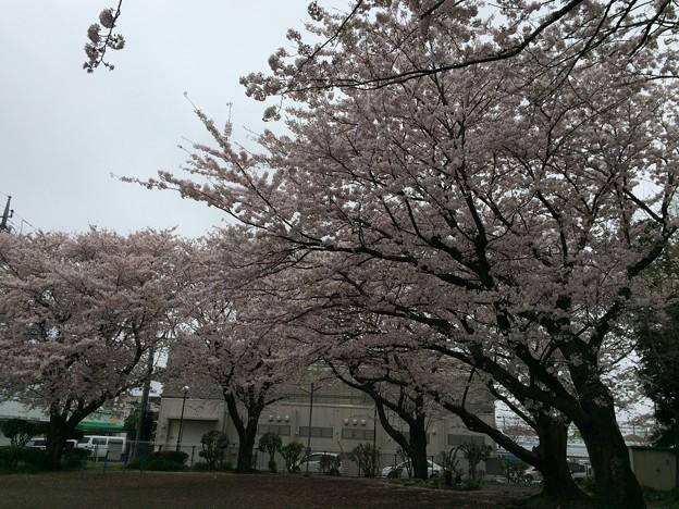 宮前公園の桜6