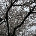 宮前公園の桜7