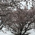 宮前公園の桜8