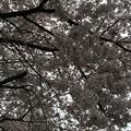 写真: 宮前公園の桜11