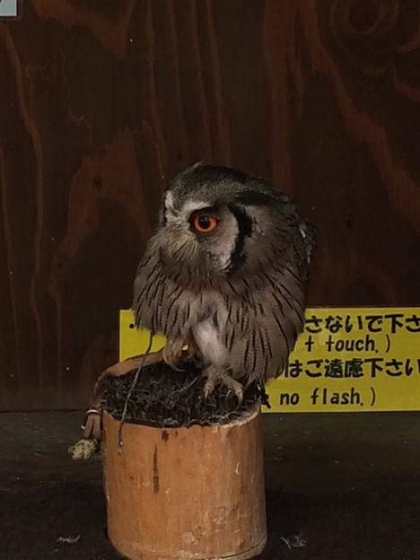 富士花鳥園のフクロウ2