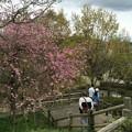 上岩崎公園1 桜