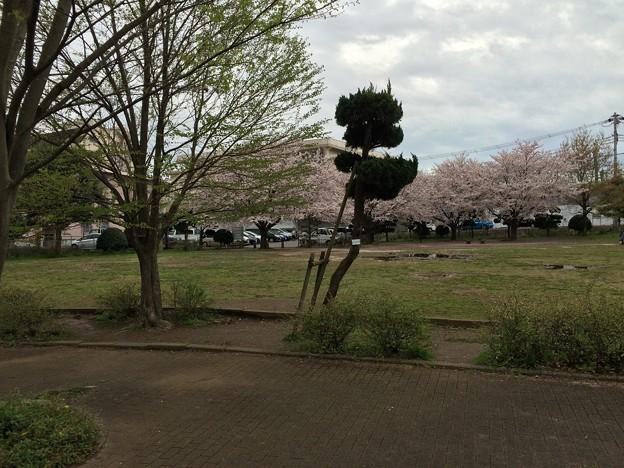 上岩崎公園3 桜