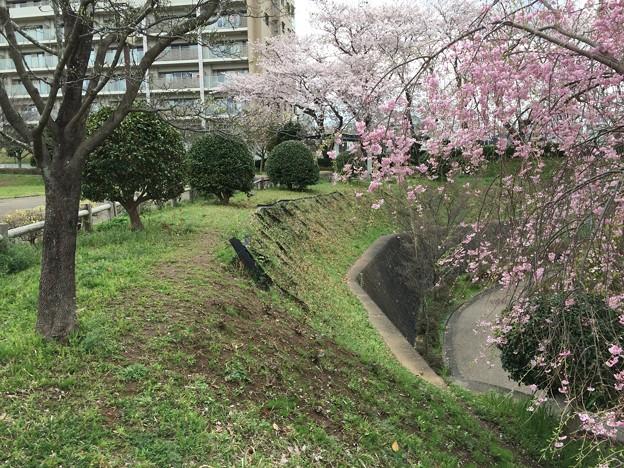 上岩崎公園4 桜