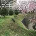 Photos: 上岩崎公園4 桜