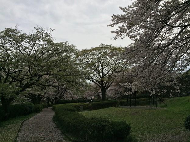 上岩崎公園13 桜