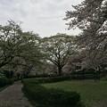 Photos: 上岩崎公園13 桜