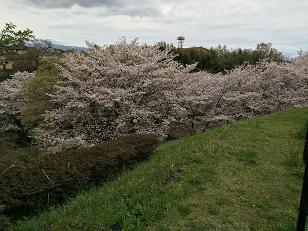 上岩崎公園16 桜