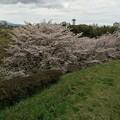 Photos: 上岩崎公園16 桜