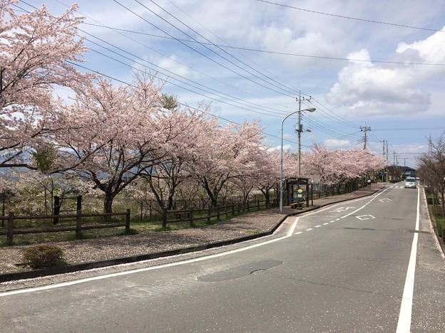 佐野見晴台 桜並木1