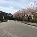 佐野見晴台 桜並木2