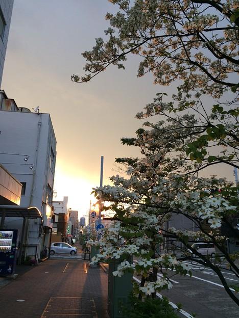 平町の桜?