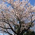 2017市内某所の桜