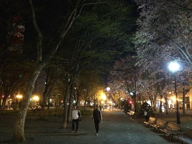 大通公園11 ~エゾヤマザクラ3~