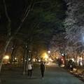 Photos: 大通公園11 ~エゾヤマザクラ3~