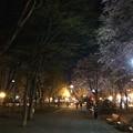 Photos: 大通公園12 ~エゾヤマザクラ4~