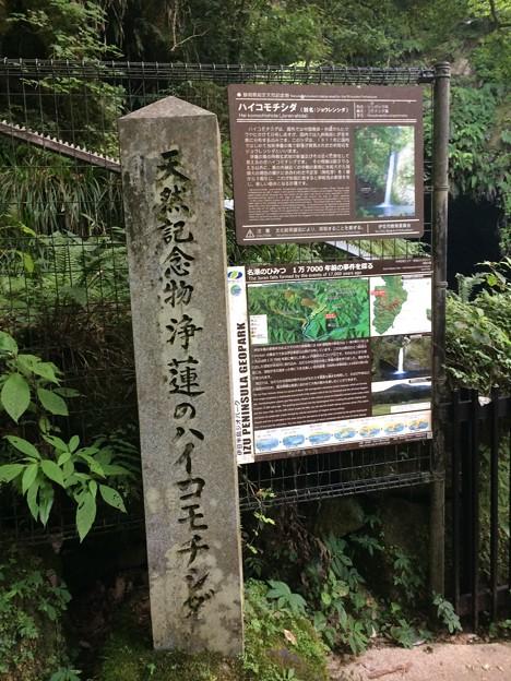 Photos: ハイコモチシダ