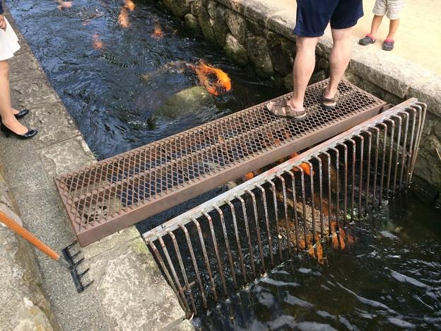 飛騨古川 川と鯉