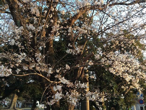 2018地元の桜1