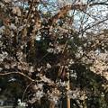 Photos: 2018地元の桜1